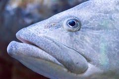 Fermez-vous vers le haut du visage des poissons géants de mérou Photo libre de droits