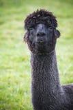 Fermez-vous vers le haut du visage drôle des alpaga noirs de fourrure, lama dans le domaine naturel Image stock