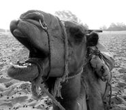 Fermez-vous vers le haut du visage du chameau dans B/W Image stock