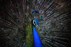 Fermez-vous vers le haut du visage du paon indien masculin avec le beau plu d'élevage Image stock