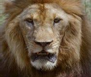 Fermez-vous vers le haut du visage du roi africain dangereux d'animaux de safari de lion masculin Images stock