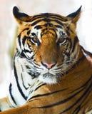Fermez-vous vers le haut du visage du visage indo-chinois de tigre photos libres de droits
