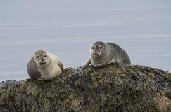 Fermez-vous vers le haut du vitulina de Phoca de joints de port, du mâle et de la séance femelle photographie stock libre de droits