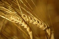 Fermez-vous vers le haut du wheatfield Photographie stock