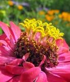 Fermez-vous du zinnia rose avec les stamens jaunes Photographie stock