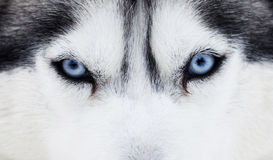 Fermez-vous vers le haut sur des yeux bleus d'un crabot Photos libres de droits