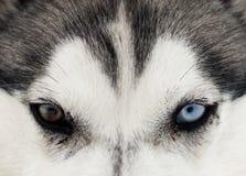 Fermez-vous vers le haut sur des yeux bleus d'un crabot Images libres de droits