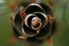 Fermez-vous vers le haut sur le cône de pin Photo stock