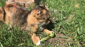 Fermi del gatto una lucertola stock footage