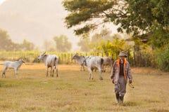 Fermier et vaches photo libre de droits