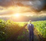 Fermier marchant dans des domaines de maïs au coucher du soleil Photo stock