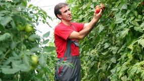 Fermier organique moissonnant des tomates Photos stock
