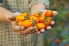fermier retenant la tomate fraîche Photo stock