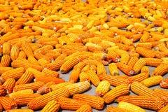 fermiers de séchage de maïs photos stock