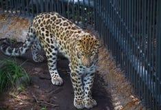 Fernöstlicher Leopard im Käfig Stockfotografie
