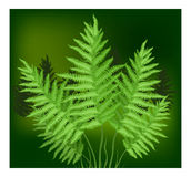 Fern. Plant of fern family on green background, vector illustration Royalty Free Stock Images