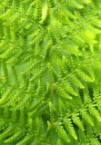 Fern. Macro photo of fern leaf abstract background Stock Image
