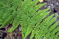 Free Fern Royalty Free Stock Image - 11530476