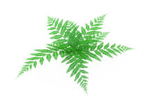 Fern. Green fern plant 3d, over white, isolated Royalty Free Stock Images