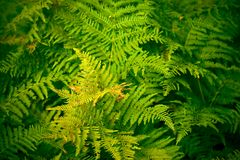 Fern. Thick fern bush in a forest in autumn stock images