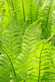 Fern Stock Image