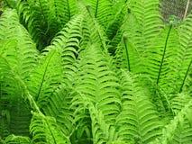 Fern. Fresh green fern leafs in the forest Stock Image