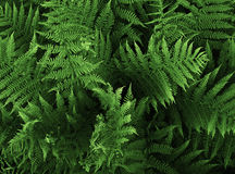 Free Fern Stock Photography - 13631422