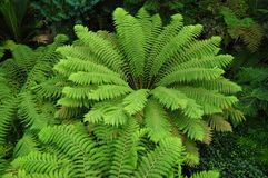 The green fern Royalty Free Stock Image
