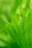 Fern. A green image of ferns with blurred background Royalty Free Stock Photo