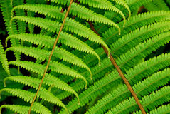 Fern. New Spring growth fern leaves Stock Photos