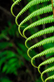 Fern. Wild green fern at the mountainous region Stock Images
