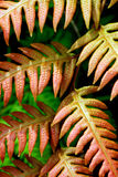 Fern. Wild colour fern at the mountainous region Royalty Free Stock Photography