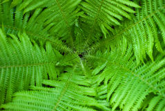 Fern. Background made of green fern Stock Photography