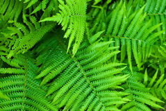 Fern. Background made of green fern Royalty Free Stock Photos
