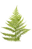 Fern Stock Photography