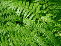 Fern Stock Photo