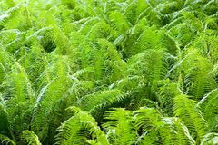 Fern. Growing in the woods Royalty Free Stock Image