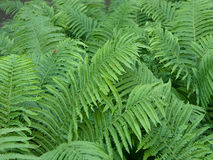 Fern. Field of ferns royalty free stock photography