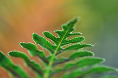 Free Fern Royalty Free Stock Image - 17849746