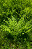 A fern. Royalty Free Stock Photos