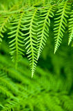 Fern. Green fern for background and/or  texture all green ecofriendly ecology in bush in New Zealand Royalty Free Stock Images