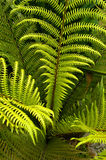 Fern Fotografia de Stock Royalty Free