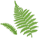 Fern vector. Illustration of a single fern leaf and seed spores on the underside of the leaf, isolated + vector eps file Stock Images