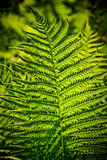 Fern. Leaf beautifully lit by afternoon sun Royalty Free Stock Photo