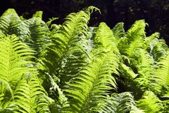 Fern-3 Royalty Free Stock Images