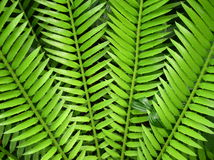 Fern. Close up of a fern Royalty Free Stock Image