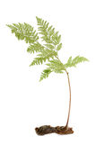 Fern Foto de Stock Royalty Free