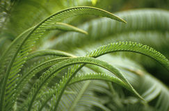 Fern royalty free stock image