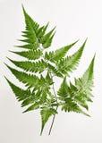 Fern. Leaf isolated on white background Stock Images