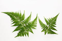 Fern. Leaf isolated on white background Royalty Free Stock Image